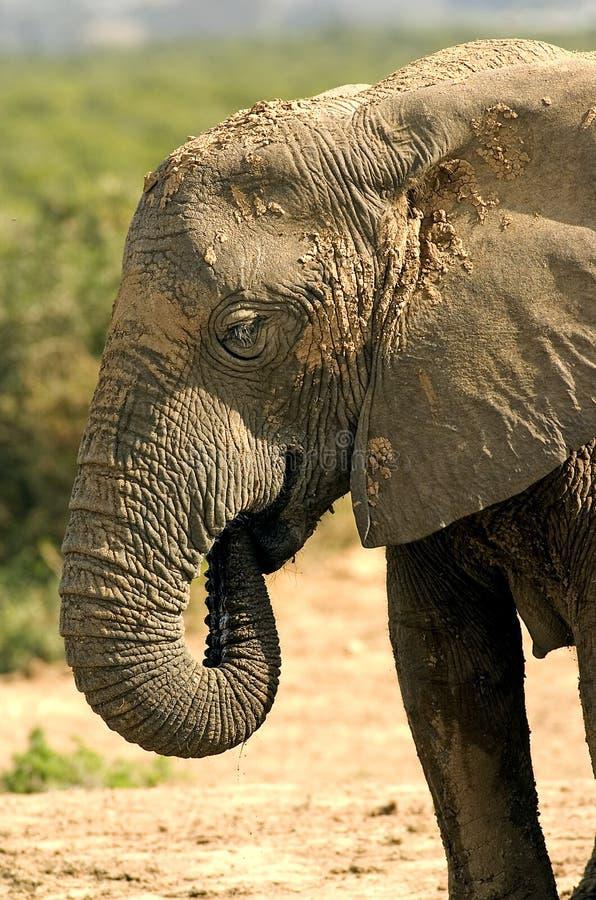 Baño de fango del elefante foto de archivo