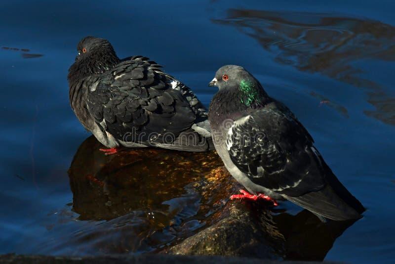 Baño de las palomas de la ciudad por la mañana fotografía de archivo