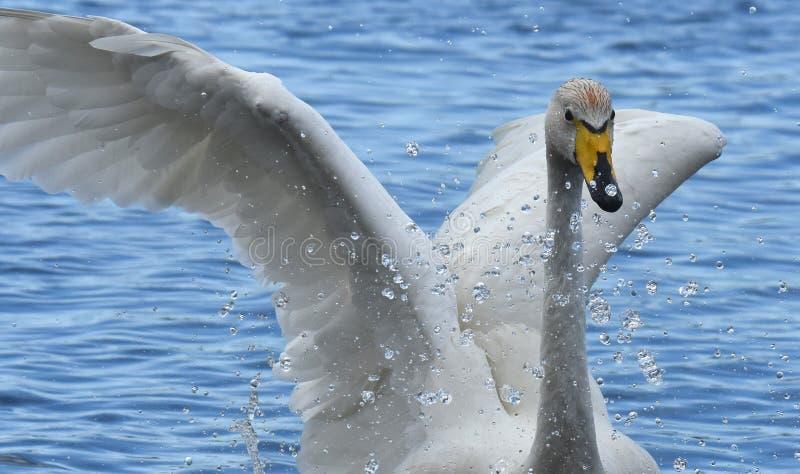 Baño del cisne de Whooper imagen de archivo libre de regalías
