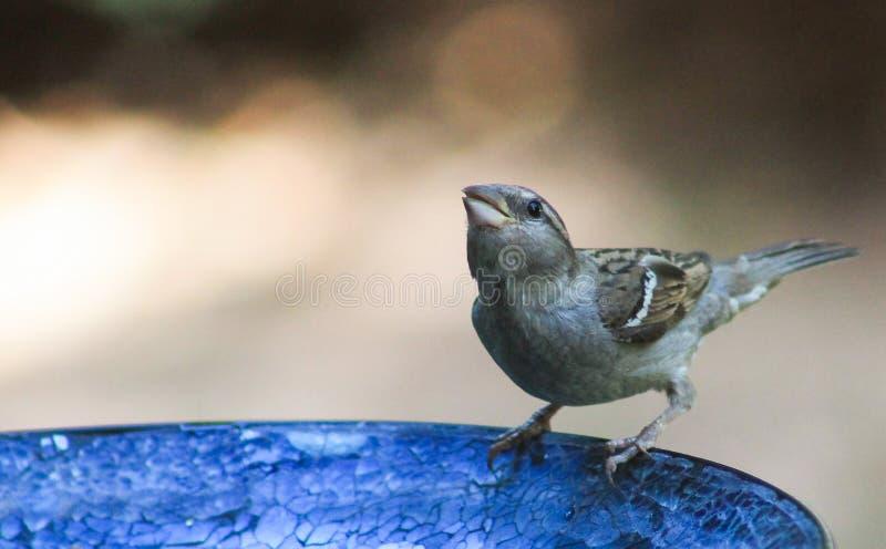 baño del Gorrión-pájaro fotografía de archivo