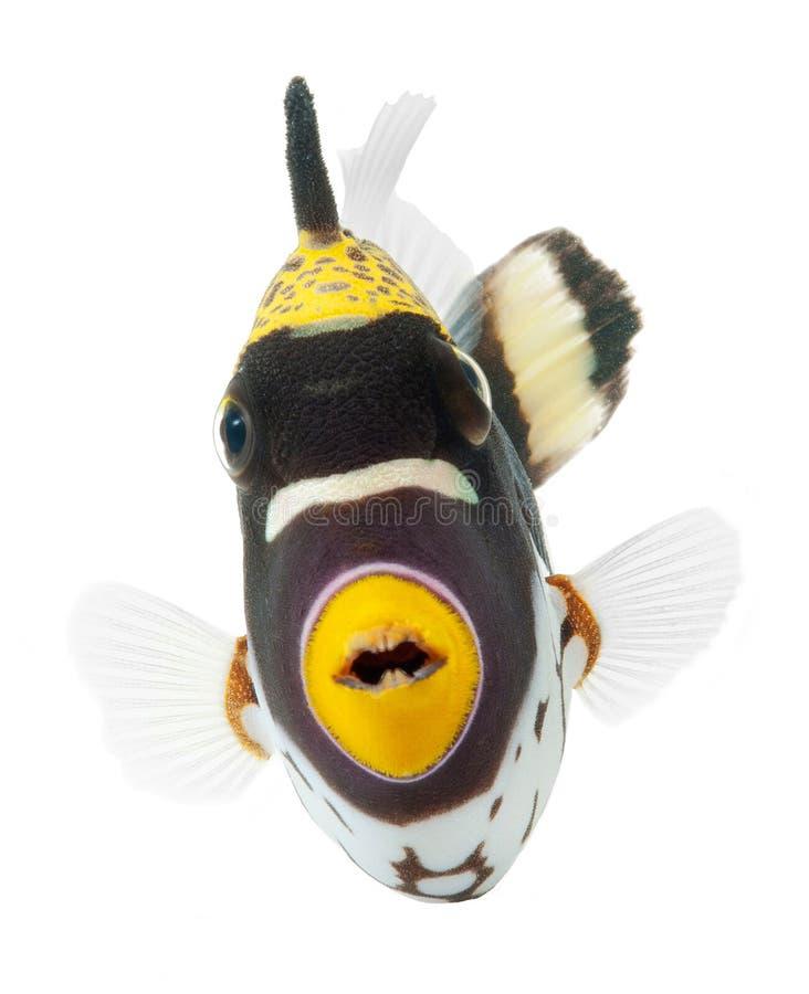 ba小丑鱼查出的礁石引金鱼白色 免版税图库摄影