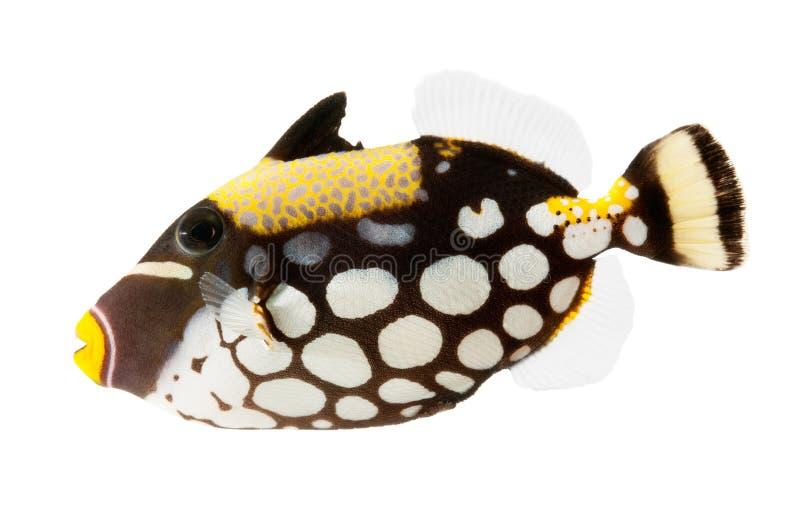 ba小丑鱼查出的礁石引金鱼白色 免版税库存照片