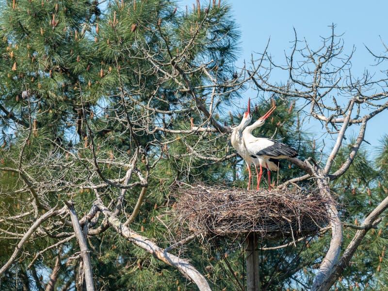 Ba?a de Arcachon, Fran?a Pares das cegonhas brancas na reserva ornitol?gica de Le Teich fotografia de stock royalty free