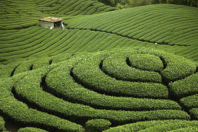 Ba Gua Tea garden in Taiwan stock photo