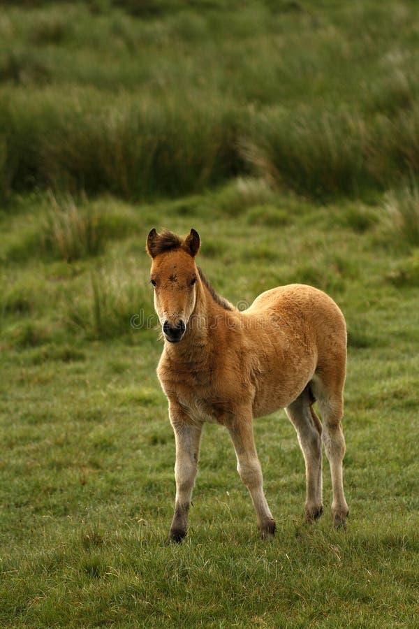 Baai Dartmoor Pony Foal stock afbeelding