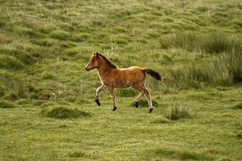 Baai Dartmoor Pony Foal royalty-vrije stock afbeelding