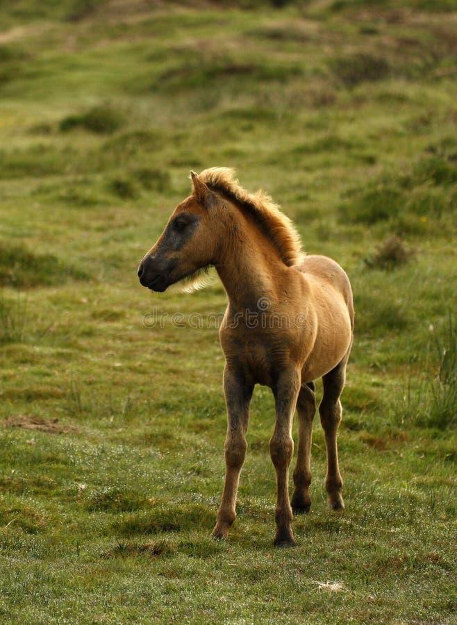 Baai Dartmoor Pony Foal royalty-vrije stock afbeeldingen