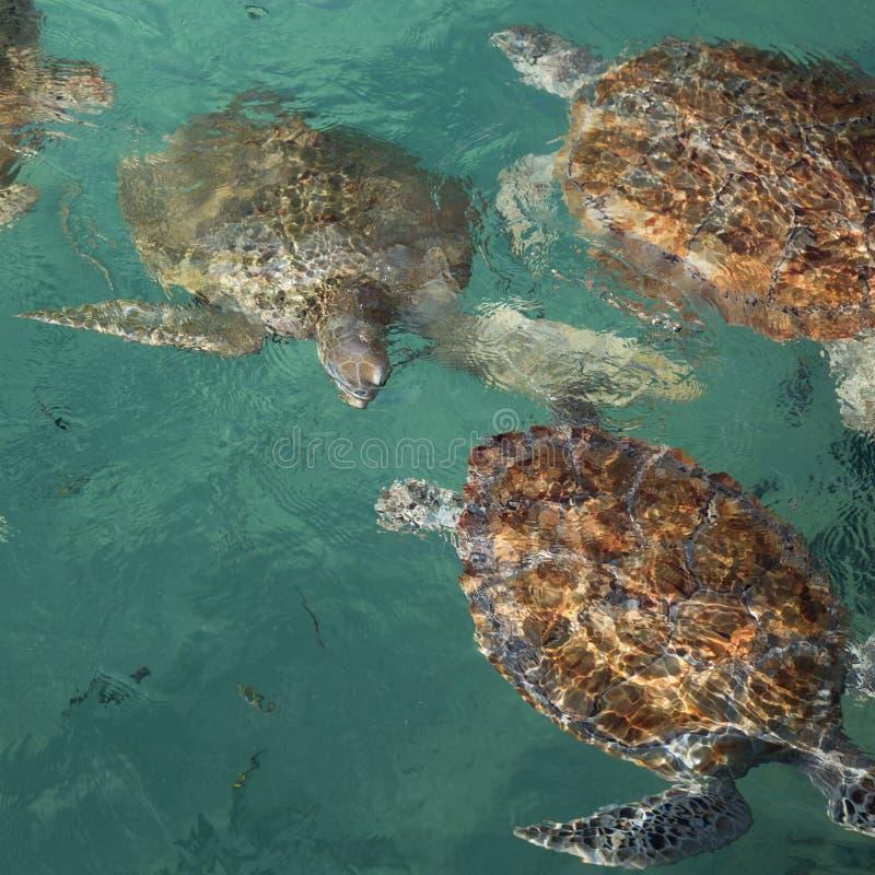 Baal van bedreigde zeeschildpadden die aan oppervlakte van duidelijk tropisch aquawater zwemmen stock foto