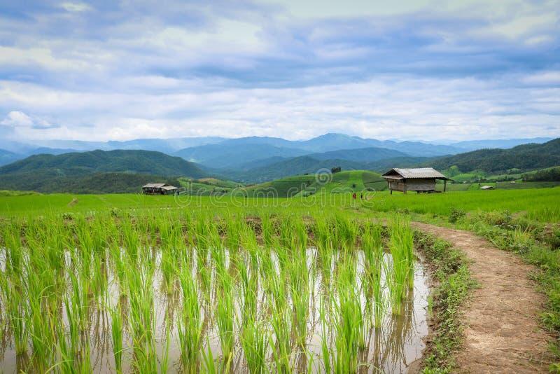 Baan Pa Pong位于Mae果酱的Piang, Chiangmai,泰国这个地方是农夫在大阳台的植物米 库存照片