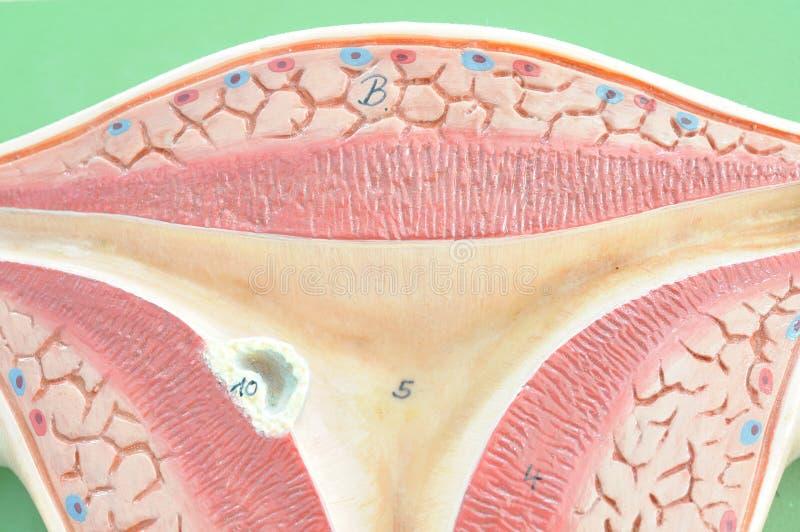 Baarmoeder van mens royalty-vrije stock afbeelding