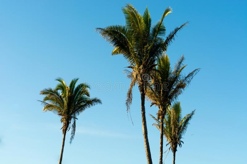 Babaçu棕榈树  库存照片