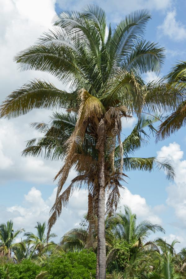 Babassu Palm in Piaui, Brazil. Babassu Palm, the most iconic palm in Piaui, during the rainy season, Brazil royalty free stock photos