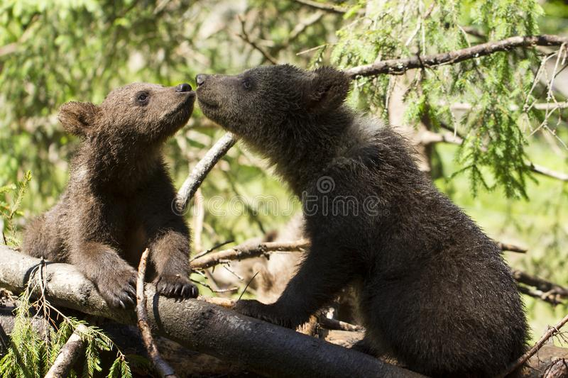 Babay bear brothers touching noses royalty free stock photo