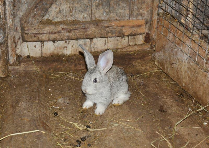 Babbit del beb? Criando y criando el conejo del beb? en la granja en la jaula de madera imagenes de archivo