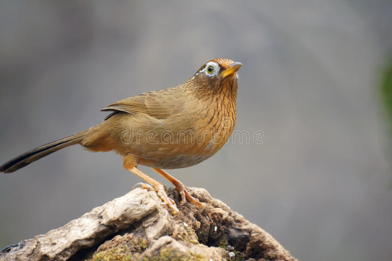 Babbling thrush. A throstle stands on tree stool. Scientific name:Garrulax canorus royalty free stock image