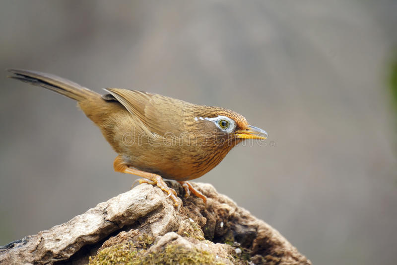 Babbling thrush. A throstle stands on tree stool. Scientific name:Garrulax canorus stock images
