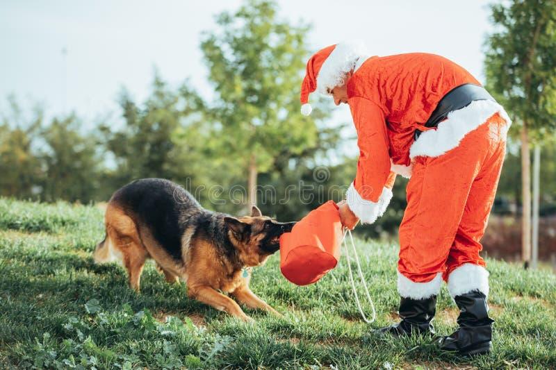 Babbo Natale senza barba gioca con un pastore tedesco che lo sta tirando fuori dalla borsa regalo fotografie stock