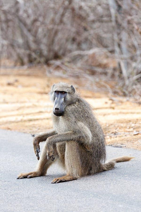 Babbuino africano che si siede sulla strada fotografia stock