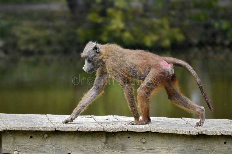 Babbuino che cammina sui plancks di legno fotografia stock libera da diritti