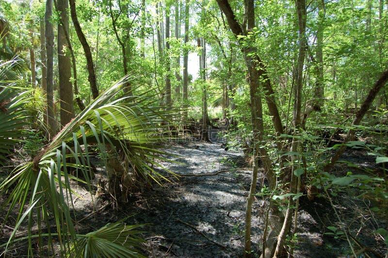 Babcock Ranch cypress bog stock image