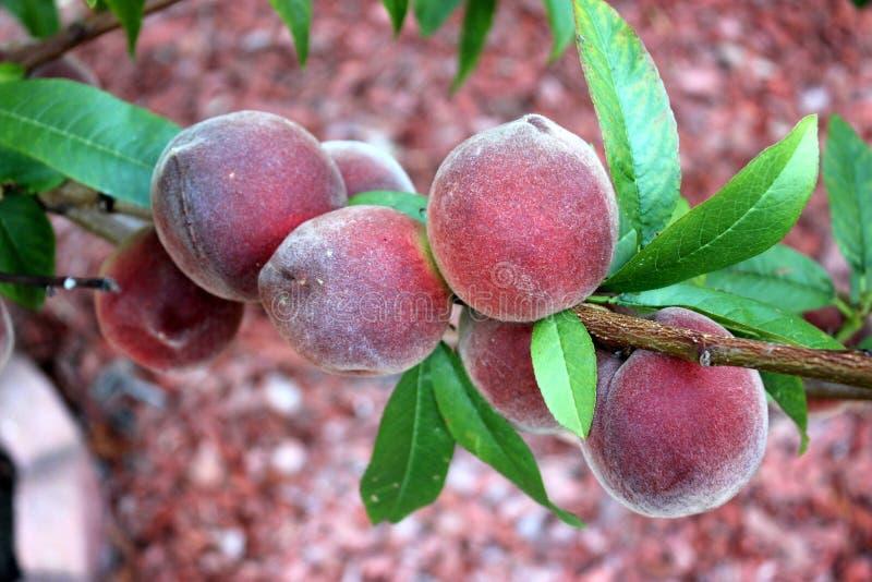 Babcock weißer Pfirsich, Prunus persica 'Babcock ' lizenzfreie stockbilder