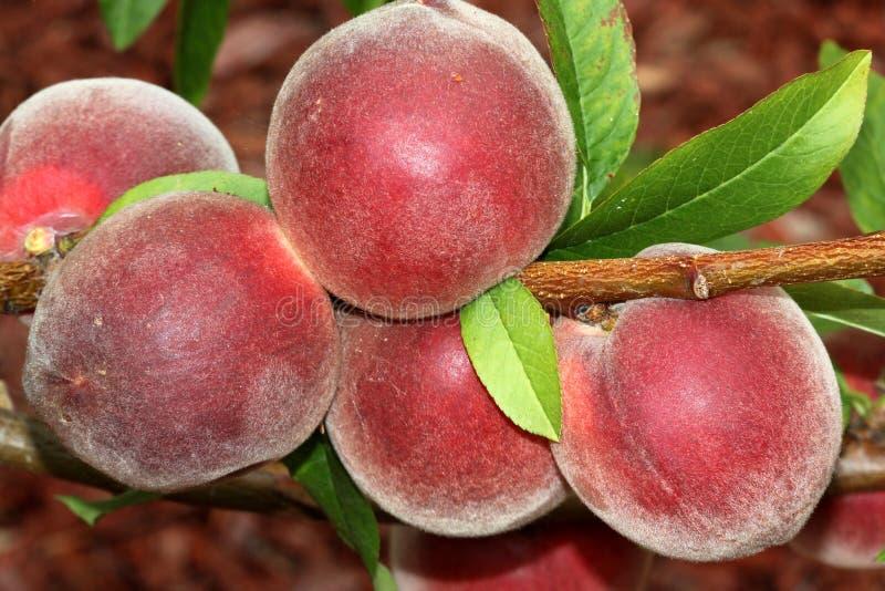 Babcock weißer Pfirsich, Prunus persica 'Babcock ' lizenzfreies stockbild