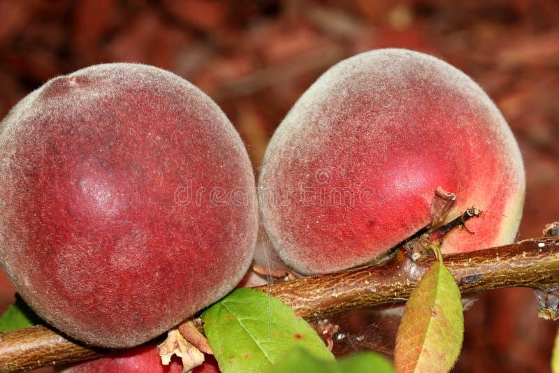 Babcock weißer Pfirsich, Prunus persica 'Babcock ' lizenzfreie stockfotografie