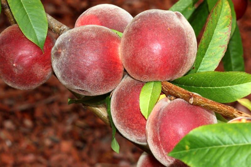Babcock weißer Pfirsich, Prunus persica 'Babcock ' stockfotografie