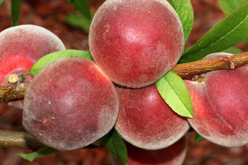 Babcock weißer Pfirsich, Prunus persica 'Babcock ' stockfoto