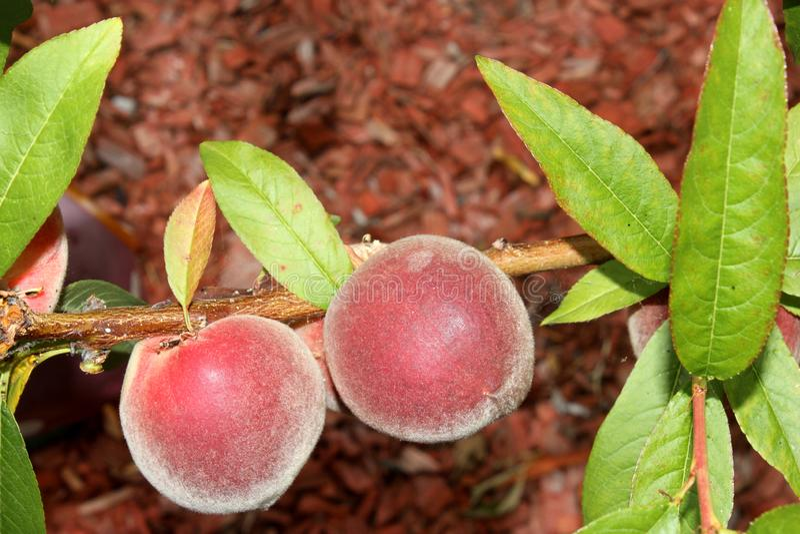 Babcock weißer Pfirsich, Prunus persica 'Babcock ' stockbild