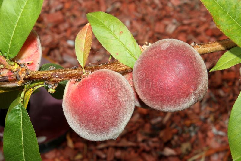 Babcock weißer Pfirsich, Prunus persica 'Babcock ' lizenzfreie stockfotos