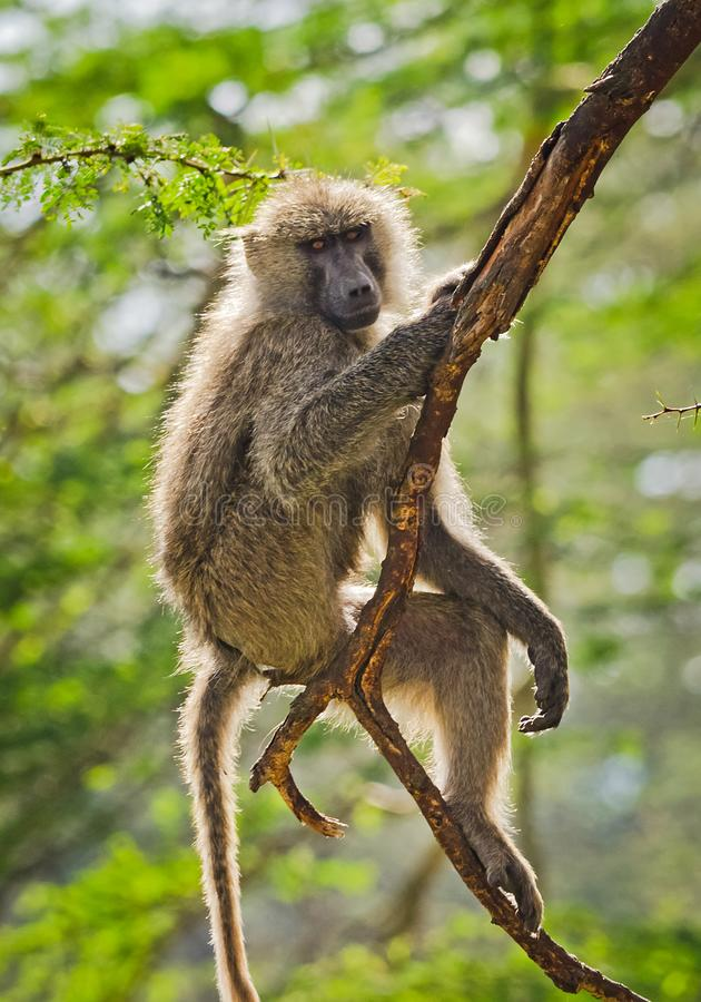babe Αφρικανική σαβάνα πιθήκων Marmoset Baboon στο natura τους στοκ φωτογραφία