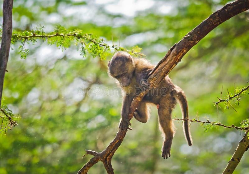 babe Αφρικανική σαβάνα πιθήκων Marmoset Baboon στο natura τους στοκ φωτογραφία με δικαίωμα ελεύθερης χρήσης