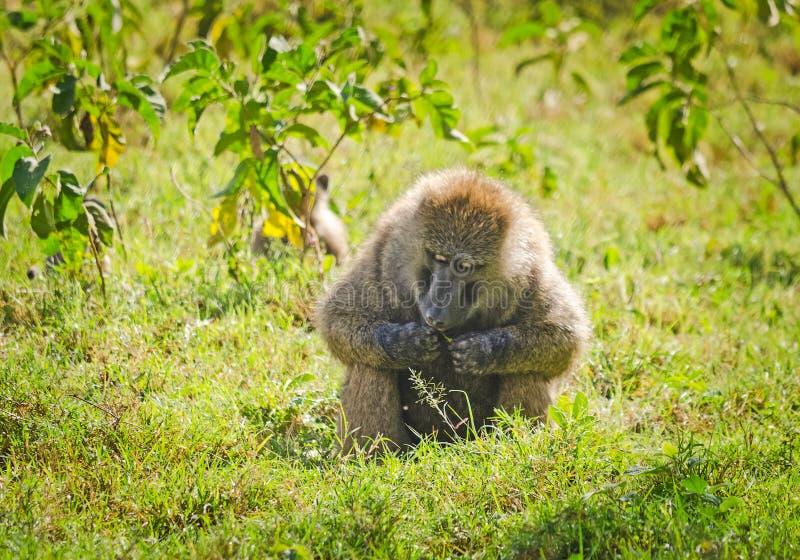 babe Αφρικανική σαβάνα πιθήκων Marmoset Baboon στο natura τους στοκ φωτογραφίες