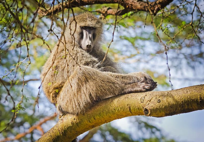 babe Αφρικανική σαβάνα πιθήκων Marmoset Baboon στο natura τους στοκ εικόνα