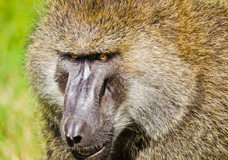 babe Αφρικανική σαβάνα πιθήκων Marmoset Baboon στο natura τους στοκ εικόνες με δικαίωμα ελεύθερης χρήσης