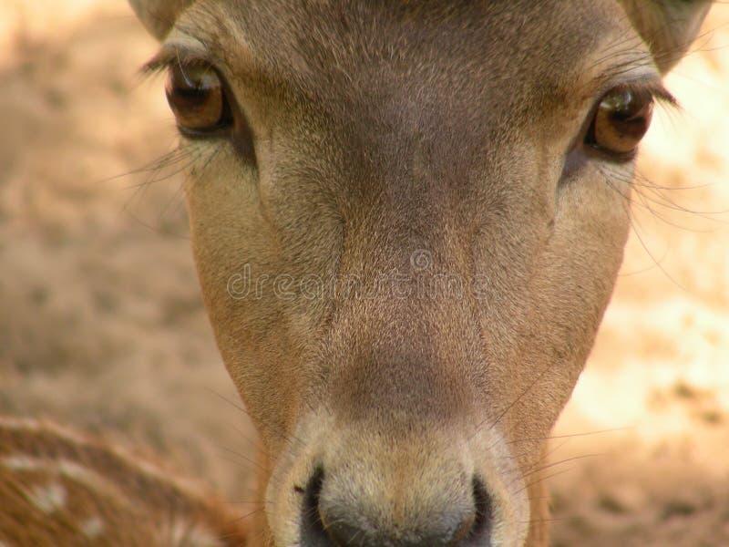Babe-deer. Eyes close-up in zoo Kiryat Motckin royalty free stock photography