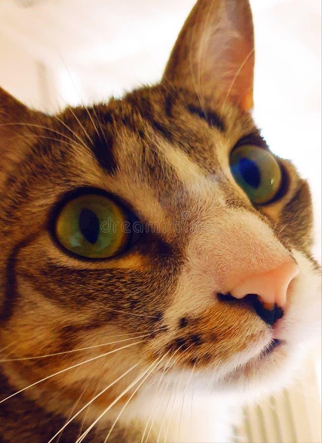 Babecat royalty-vrije stock afbeelding
