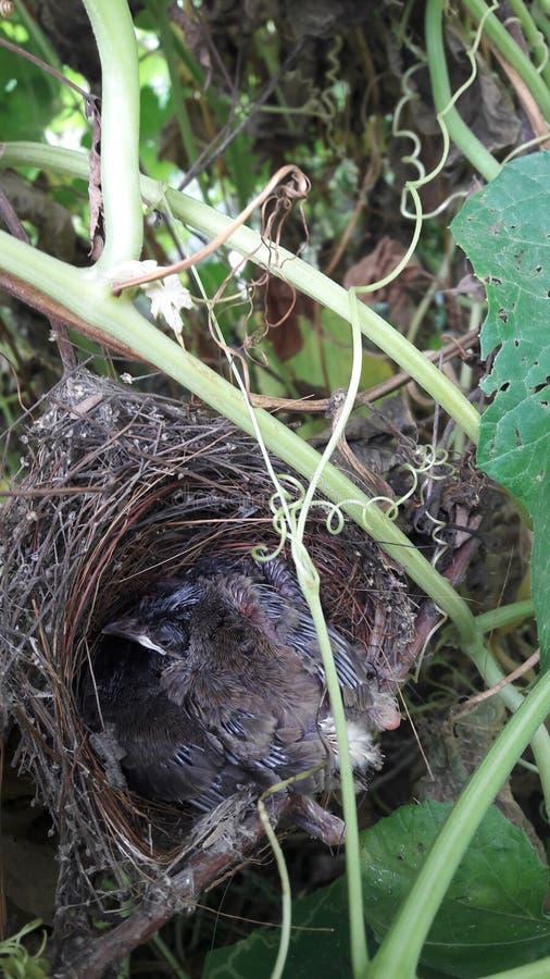 Babi fågel royaltyfria foton