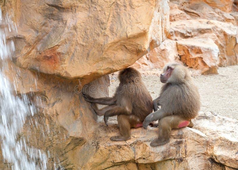Babian för två hamadryas som sitter på en sten nära vattenfallet royaltyfri bild