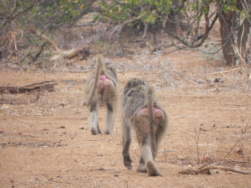 Babian Hind Africa Nature Wildlife royaltyfri fotografi
