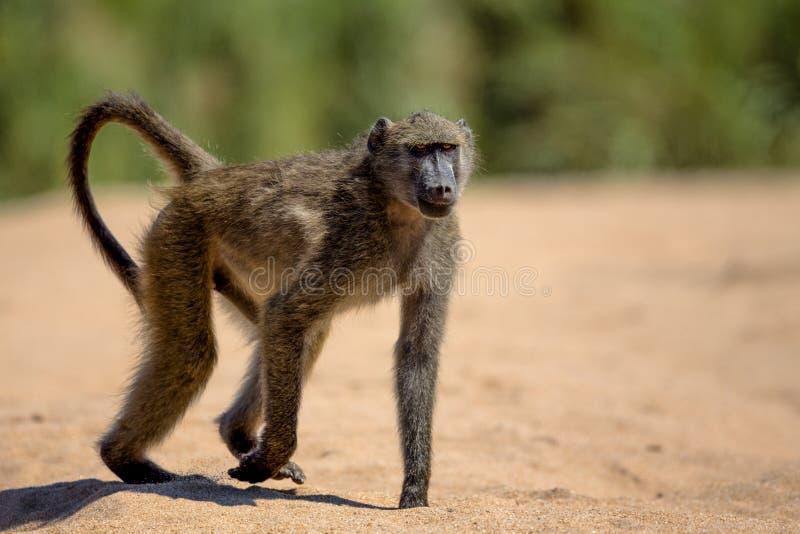 Babian i den Kruger nationalparken arkivbilder