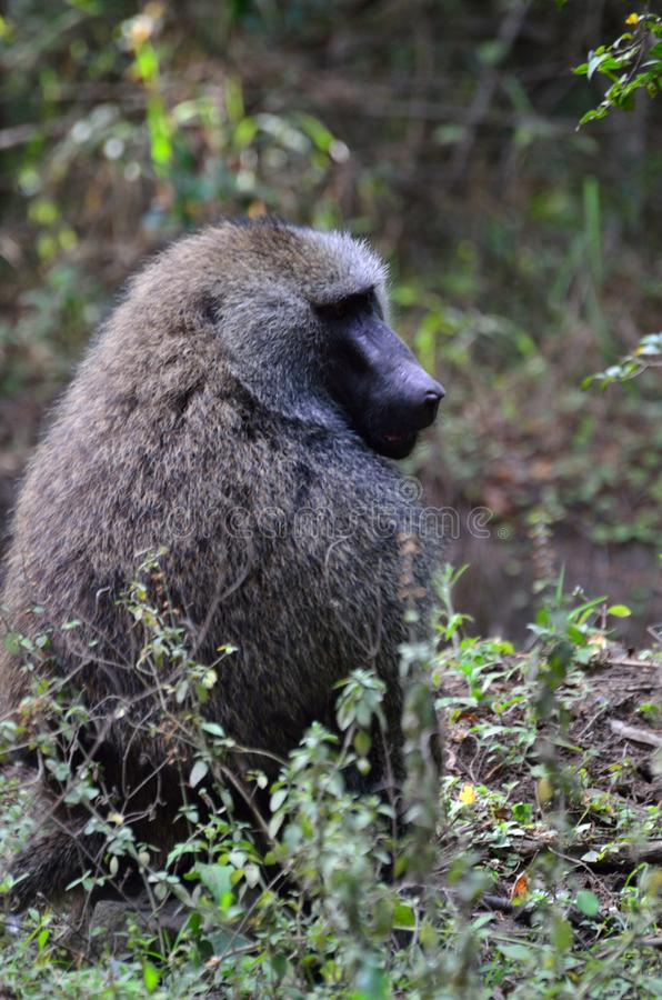 Babian på den Arusha nationalparken, Tanzania, Afrika arkivbilder