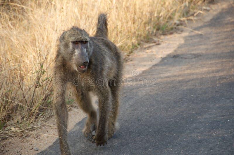 Babian som går ner vägen arkivbild