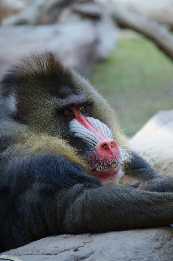 Babian som vilar på en vagga royaltyfri foto