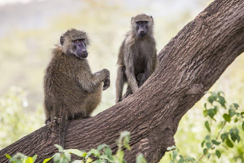 Babian - Tarangire nationalpark - djurlivreserv i Tanzania, royaltyfri bild
