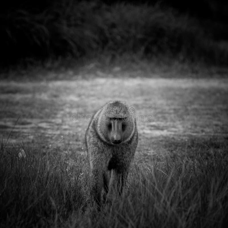 Babian Uganda arkivbilder