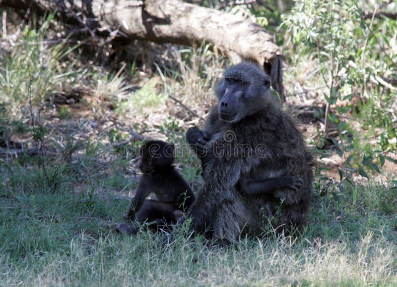 Babianer i Sydafrika royaltyfri bild