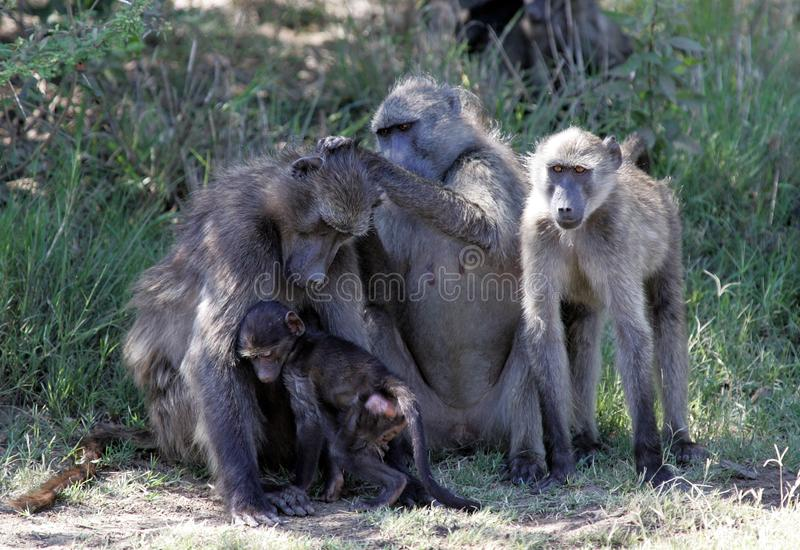 Babianer i Sydafrika royaltyfria bilder