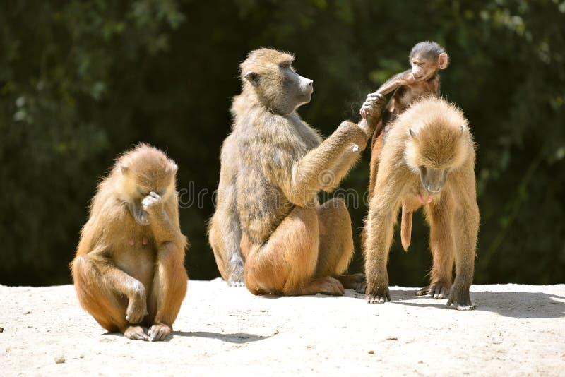Babianer och barn arkivfoto